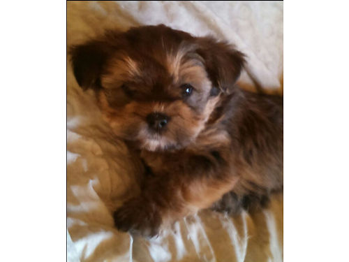 DESIGNER DOGS Lhaso Yorkie DOB 7-4-17 males 500 each parents onsite small breed Yreka 530-9