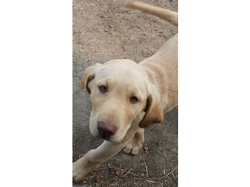 AKC DUDLEY Yellow Labs red nosed red eyes 4-males 5-femals first shots dewormed ready for a f