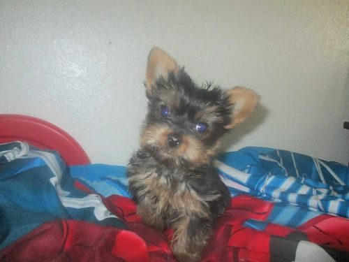 YORKIE PUPPIES blue dew claws doc tails parents on site males and females ready to go to good