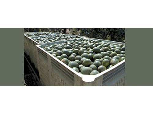 HAAS AVOCADOS FOR SALE Bins or boxes great prices please leave messagese vende Aguacate en cajas