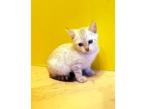 BENGAL KITTENS Beautiful TICA-registered pure-bred for sale Born March 21 2014 kittens are healt
