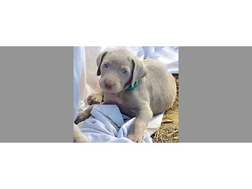WEIMARANERS 8 Stunning pups Classic Silvers Shots tails docked dew-claws off Parents onsite L