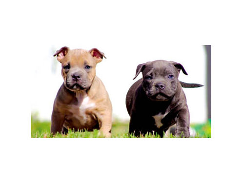 AMERICAN BULLY PUPS UKC reg 9 weeks old ready to go 2nd set of shots de-wormed  dew clawed 80