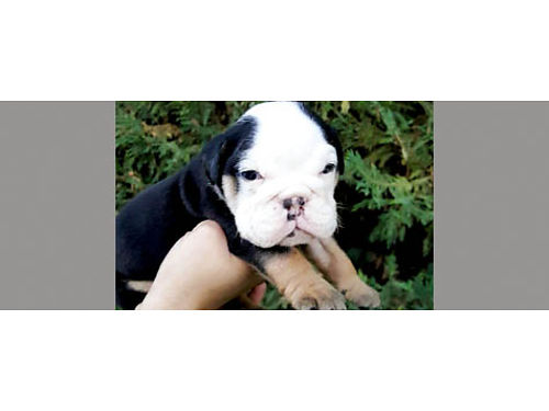 OLD ENGLISH BULLDOG pups Rare Tri Colored dewormed shots 1year health guar visit wwwdirtroadb