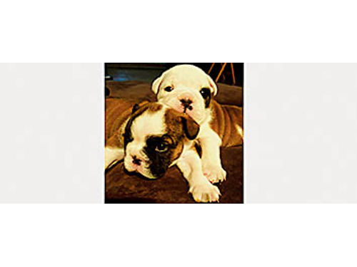 AKC ENGLISH BULLDOG Puppies Ready for new homes 31417 Rare colors Champion bloodlines Family r