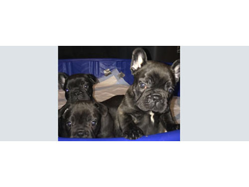AKC FRENCH BULLDOG PUPPIES 2 females 2 males 6 weeks old parents on premises 2 blk brindle  1