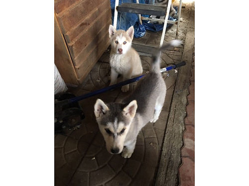 HUSKY PUPPIES 1st shots 2 months old 350 each