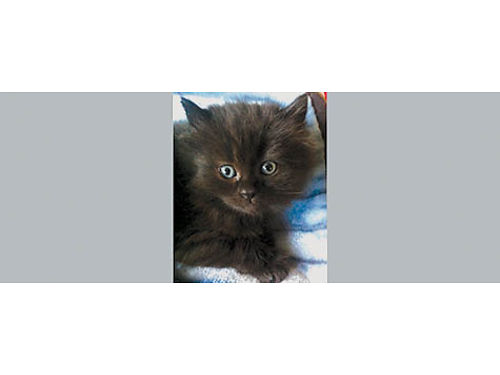PERSIAN KITTENS - 1- Half Persian and 1- half Bar Tom All precious black female kittens 1 long hai