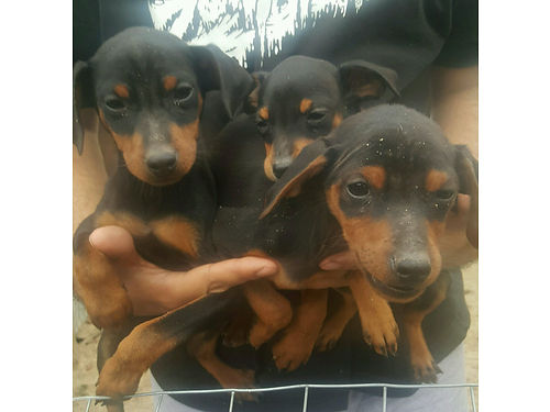 MINI DOBERMAN PINSCHERS 8 wks 2 males and 2 females AKC reg w papers dewormed 1st shots docke