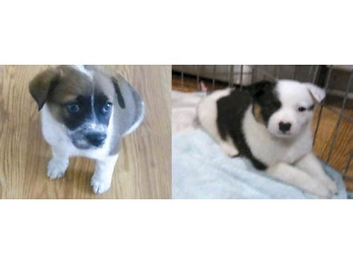 ADORABLE QUEENSLAND HEELER PUPPIES 8 weeks old 2 females 1st shots tails docked bred for dispos