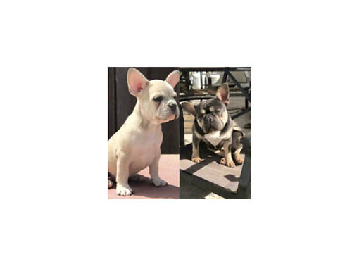 FRENCH BULLDOG PUPS AKC reg 7 weeks old ready to go on 7-7-2017 1st shots and dewormed serious b