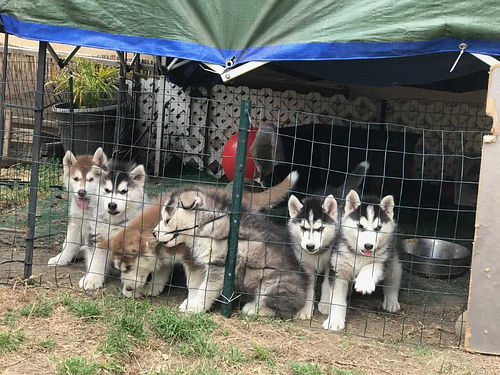 SIBERIAN HUSKY PUPPIES - 8 wks 3 males  3 females Black and White Brown and White mom and dad o