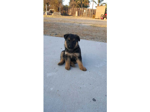 GERMAN SHEPHARD PUPPIES Pure 4 female ea for 4001 male - 500 black  brown great loyal protec