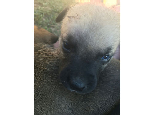 ADORABLE AMERICAN BULLY PUPPIES, 8 WKS, 4 ...