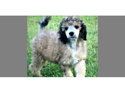 STANDARD POODLE Pups AKC Parti  solid colors avail 2 sets of Shots health guar 20 yrs breeder