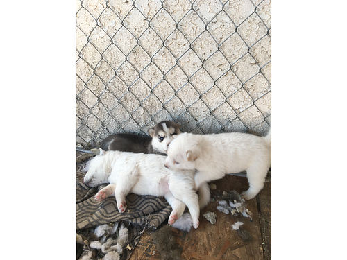 HUSKY puppies 5 weeks old females 3 avail 450