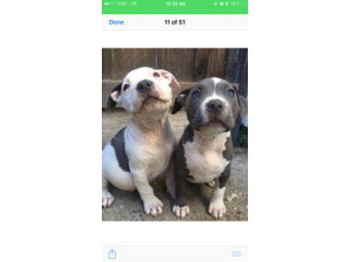 AMERICAN STAFFORDSHIRE BULLDOG Pups 4 mos old UKC 2 m 1 f 1st  2nd shots parents on prem