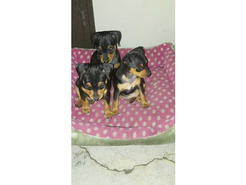 MINI DOBERMAN PINSCHERS Pure 4 avail - 2 females and 2 males 8 weeks black and tan docked tails
