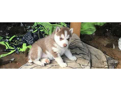 HUSKY PUPPIES 1 month old 2 available female 450 ea