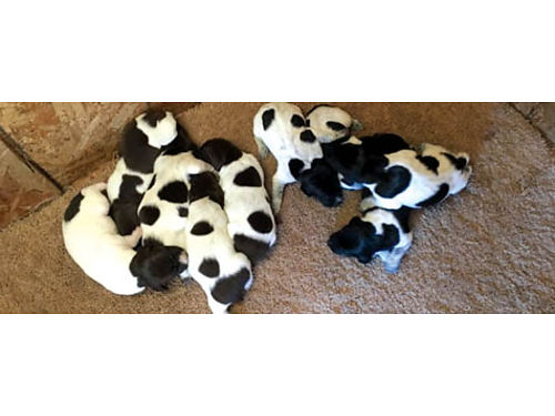 GERMAN SHORT HAIRED POINTER PUPPIES AKC reg great family  hunting dog 2 females  6 males Liver