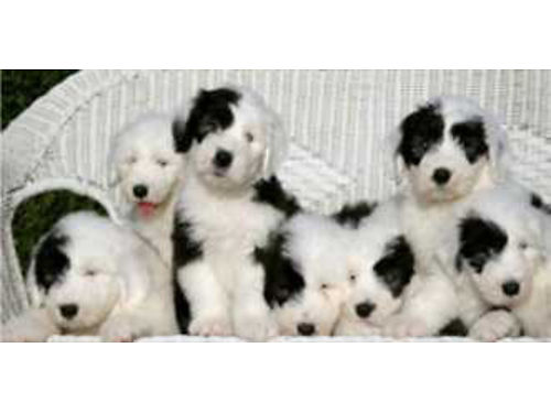 OLD ENGLISH SHEEPDOG Pups AKC raised in our home 20yr fam breeder 2 sets of shots health guar