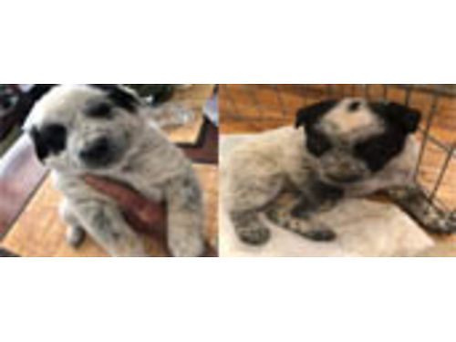 ADORABLE QUEENSLAND HEALER PUPPIES cattledogs born July 4 1 red  1 tri color male working dogs