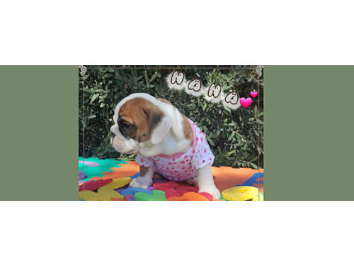 ENGLISH BULLDOG PUPPIES, MALES & FEMALES, BORN ...