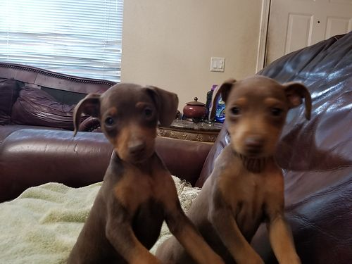 MINIATURE DOBERMAN PINSCHERS, AKC, 3 FEMALES AND ...