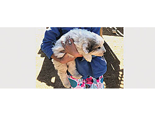 PUREBRED GREAT PYRENEES PUPPIES - Ready to go Parents on site Great working dogs for livestock 4