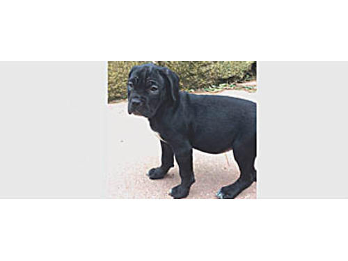 CANE CORSO ITALIAN MASTIFF Puppies 2 litters DOB 12-14  12-24 Family raised