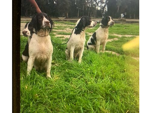 ENGLISH SPRINGER SPANIELS 3 females  2 males 6 mos old all shots current parents on premises a