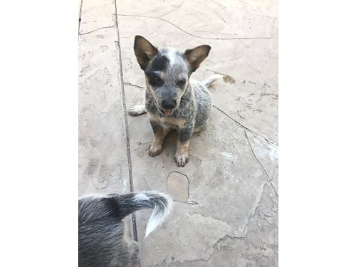 AUSTRALIAN QUEENSLAND BLUE HEELERS 2 avail 10 weeks old 1 female and 1 male first shots perfect