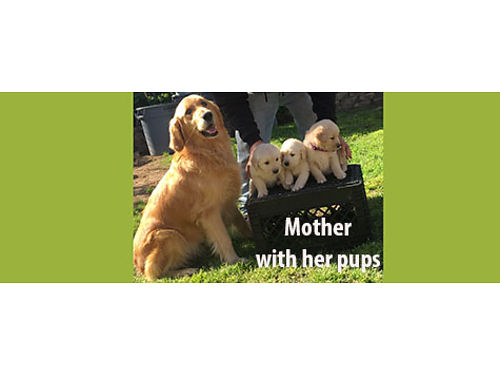 GOLDEN RETRIEVER PUPPIES 8 weeks old 1 male and 4 females Yellow  cream ones parents on premise