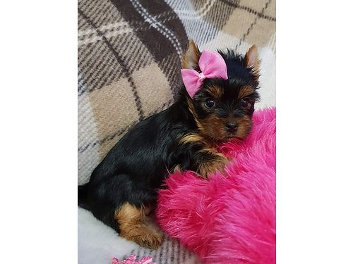 TINY TCUP YORKIES TERRIER Fully Grown 3 to 4 lbs 1200 With Ckc Papers or 1000 with no Papers 65
