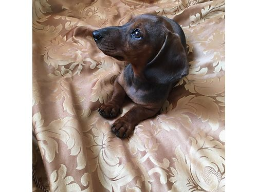 SOLD-MINI DACHSUND Smooth brown coat 1 Male left 10 weeks old Purebreed fir