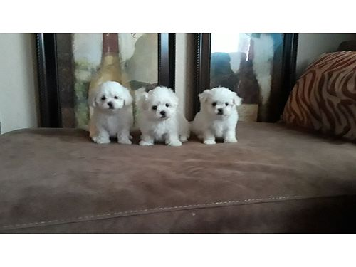 MALTESE TEACUP CKC Tiny babies 8 weeks old 3 in the litter to choose from need loving homes fi