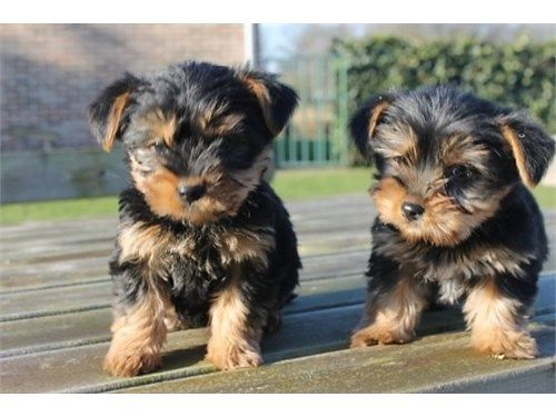 YORKIE TERRIER MICRO TEACUP PUPPIES de-wormed and 1st shots have 8 - male  females mother is 4 l