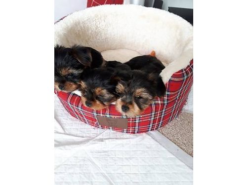 YORKIE TERRIER MICRO TEACUP PUPPIES, DE-WORMED AND ...