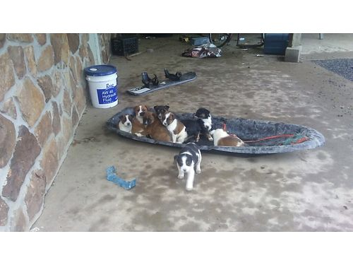 BOXERBLUE Healer mix puppies males  females ready now 75
