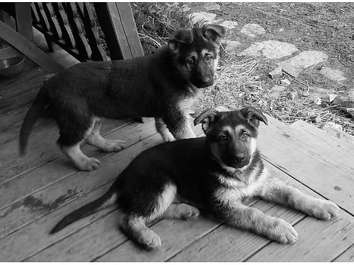 GERMAN Shepherd puppies AKC born 11916 shots  dewormed socialized farm raised Also 4yr old