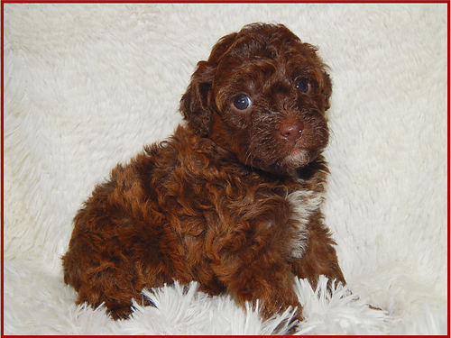 MINIATURE Red  Chocolate Poodle Puppies AKC 2 males friendly vet-checked clean bill of health