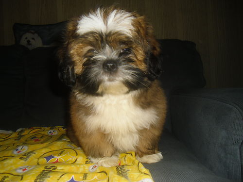LHASA Apso puppies ACA registered 2 males left one white wblue eyes Vet checked very healthy