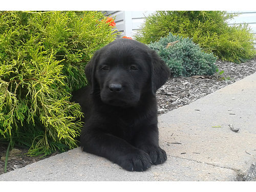 AKC black English female lab puppies Family raised shots wormed vet cert mother has health cle