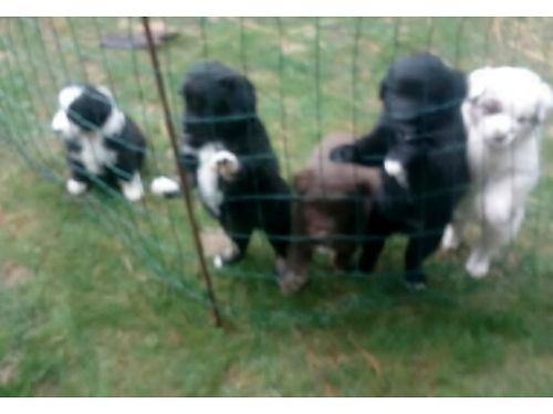 AUSTRALIAN Shepherd puppies1 black  white female shots dew claws removed tail docked certifica