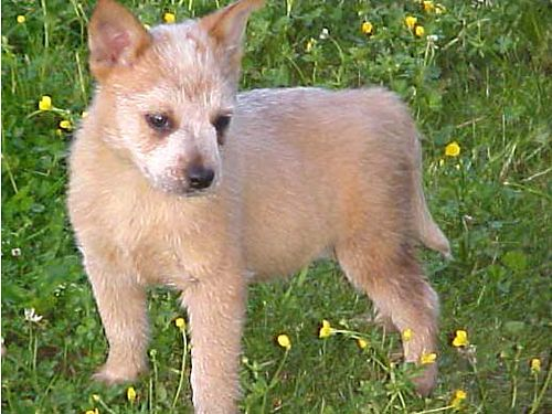 AUSTRALIAN CATTLE DOGS puppies to adults AKC andor CKC reds  blues EMAIL relindsey2yahoocom