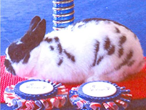 RABBITS Polish from award winning stock Pets from 15 Also Holland Lop Cages rabbit manure 423
