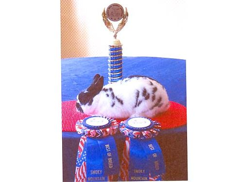 RABBITS POLISH, FROM AWARD WINNING STOCK. PETS ...