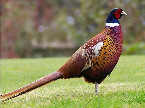WE NEED SHOOTERS SATURDAY March 28th 2015 930 am 70gun 20 shooters 50 PHEASANTS RELEASED