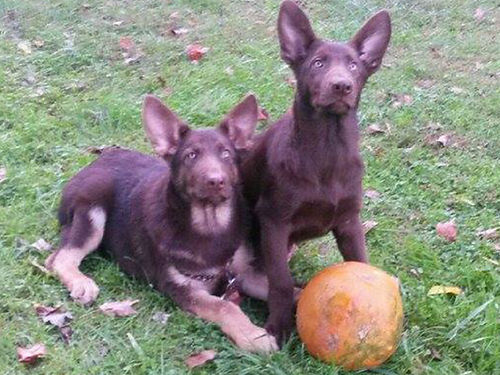 GERMAN SHEPHERD puppies Reg Old Time Large Boned Beauties seeing is believing Exotic White Rare