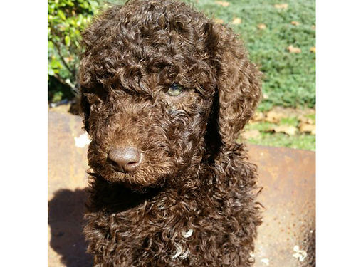 GOLDEN DOODLES F2B CKC 2 chocolate males  2 black females wormed parents or family pets he